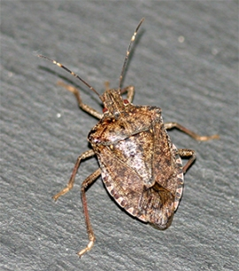 The Brown Marmorated Stink Bug is large and armored with a thick chitinous exoskeleton