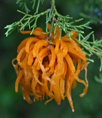 A mature cedar-apple rust gall erupts into mass of bright orange tendrils after wet weather in the spring.