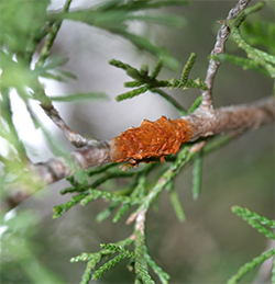 Cedar-Quince rust is another dual host fungal disease associated with Eastern Red Cedar.