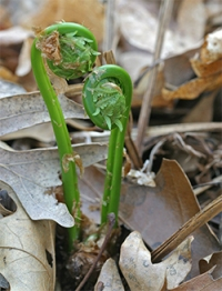 Fern fiddleheads are so interesting!