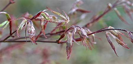 Newly emerging Japanese maple leaves