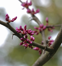 Redbuds are so beautiful in the spring.