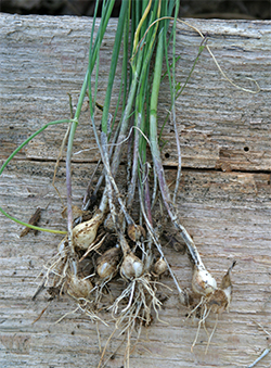 Wild onion and wild garlic grow from bulbs. One clump may have a  multitude of different sized bulbs.