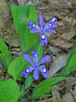 Iris cristata - Crested Iris