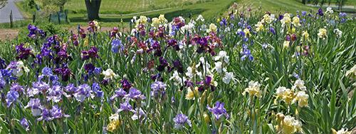 Viette Iris Field