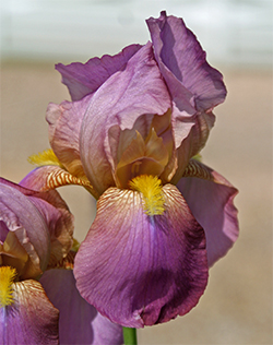 Antique Iris Heritage