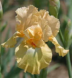 Tall bearded iris and reblooming iris come in many different colors.