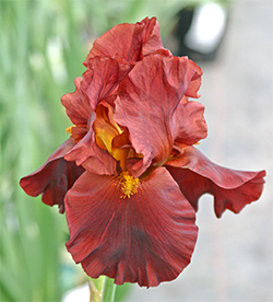 Tall Bearded Iris War Chief