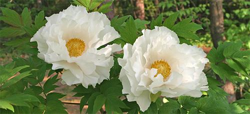 Beautiful crepe paper-like blooms
