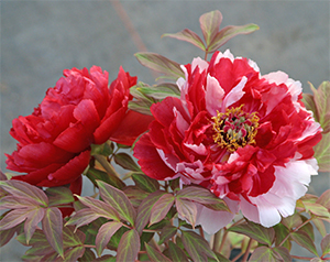 A beautiful bicolor tree peony.