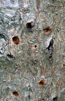 Borer holes in the bark of Viburnum