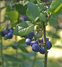 Blueberries require acidic soil to perform their best