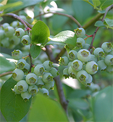 This is a much later variety. By planting early, mid, and late season varieties, you can have blueberries over a longer season.