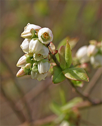 Urn-shaped blueberry flowers