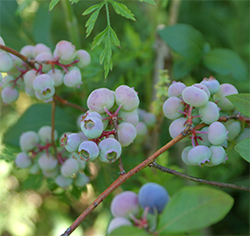 Blueberries go through several colorful stages as they ripen.