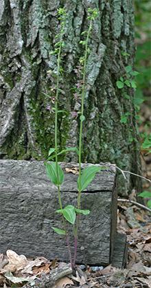 Broadleaf helleborine (Epipactis helleborine) growing at the edge of our driveway.