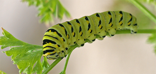 Parsleyworms are the larvae of the Balck Swallowtail butterfly