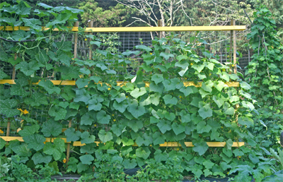 A trellis of cucumbers and squash.