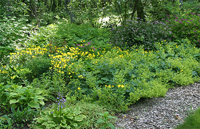 Alchemilla (Lady's Mantle) and Oenothera make a beautiful ground cover on a hillside.