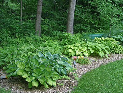 A beautiful border of different varieties of hosta.