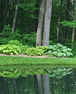 Clumps of hosta are reflected in the still water of the pond.