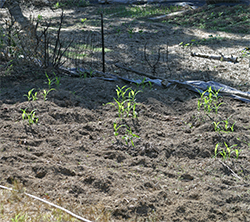 The corn has grown tall enough to plant the beans and squash