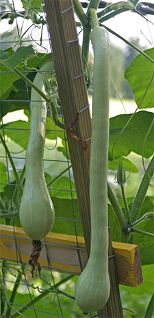 The zucchetta fruits are long and thin with seeds only in the bulbous blossom end.