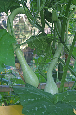 "The squash is prolific but not quite as ""bounteous"" as zucchini can be."
