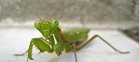 Adult Praying Mantis