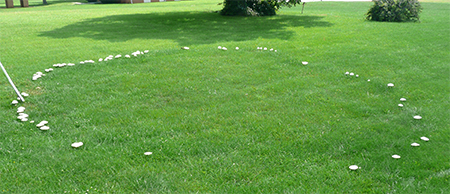 A large fairy ring