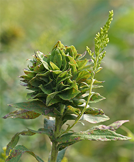 Goldenrod bunch gall