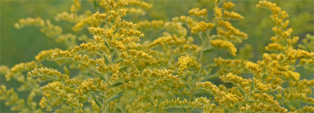 Beautiful goldenrods brighten the fileds and meadows in early fall