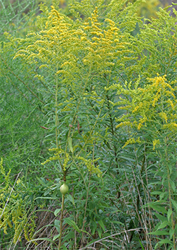 Stem galls do not affect the ability of the goldenrod to thrive and produce their beautiful showy flowers.
