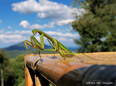 Adult Praying mantis