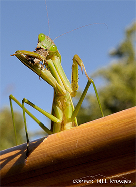 Praying mantis eating a stinkbug.
