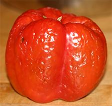 Red pepper damaged by stinkbug feeding.