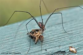A daddy longlegs feeding on a stink bug.