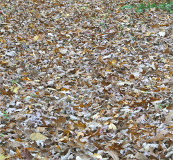 "A 2""-3"" layer of leaves covered my lawn this morning."