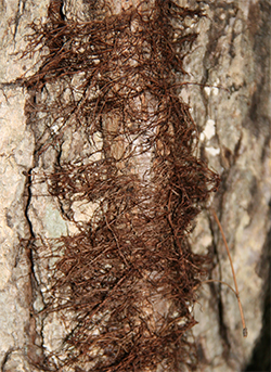 Aerial roots on a poison ivy vine