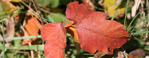 Beautiful fall color of poison ivy