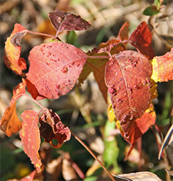 Turnabout is fair play; sometimes poison ivy gets a rash! Leaf galls on poison ivy.