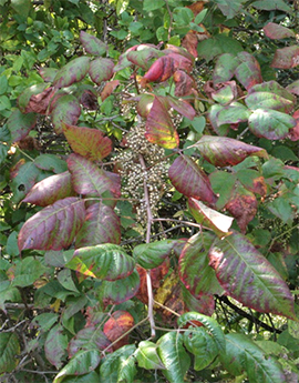 Poison ivy vine growing on a tree. Note the large clusters of white berries and the smooth shiny leaves.