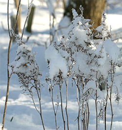 Snow covers old Astilbe flowers