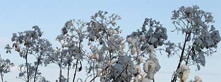 Snow lays on the flower heads of Joe Pye Weed (Eupatorium purpureum)