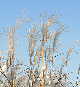 The feathery plumes of Miscanthus remain attractive through the winter.