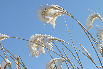 Miscanthus plumes against a brilliant blue winter sky.