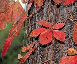 Virginia creeper has leaflets in groups of five.