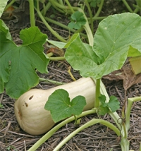Before they're mature, butternut squash are lighter colored with tender skin and green stems.