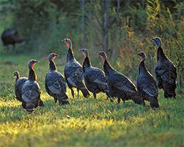 Wild turkeys; Henry Zeman/NWTF
