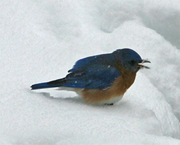 A fluffed up bluebird tried to stay warm on a snowy day.
